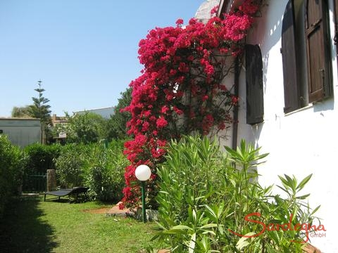 Bougainvilla in the garden