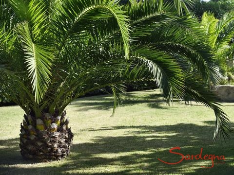 Palmtrees in the groomed garden