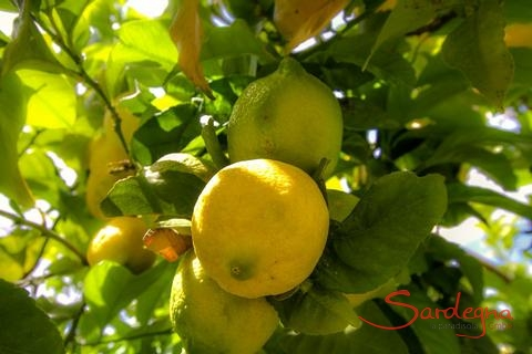 Lemontree in the garden