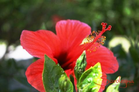 Hibisucus flower in the garden